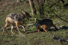 Two Jackals playing. Two Jackals play fight in the plains of Africa Stock Image