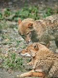Two jackals are resting on stony ground. Golden jackal Canis aureus royalty free stock photo