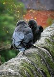Two jackdaws perched on a stone wall with the juvenile wanting to be fed by its parent. Two jackdaws perched on an old stone wall with the juvenile wanting to be Royalty Free Stock Photos