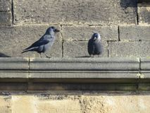 Two Jackdaws standing on cornice of sandstone church. Two Jackdaws standing on the cornice of an old sandstone church building on a sunny day Royalty Free Stock Image