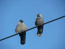 Two jackdaws on wire Stock Images