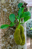 Two jackfruits with green leaf Royalty Free Stock Image