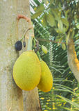 Two jackfruits Stock Photo