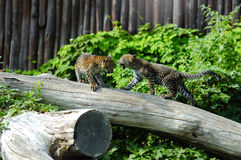 Two Jaguar cubs at play Stock Images