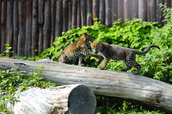 Two Jaguar cubs at play royalty free stock photography