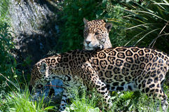 Two Jaguars Royalty Free Stock Photos
