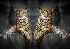 Two jaguars relax in the natural environment. Two jaguars relax in the natural environment of the zoo Stock Images