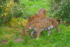Two jaguars walk Royalty Free Stock Photos