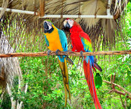 Two Jamaica Parrots Stock Images