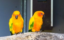 Two jandaya parakeets sitting on a branch together one looking in the camera and chewing, colorful exotic and little parrots from. Two jandaya parakeets sitting stock image