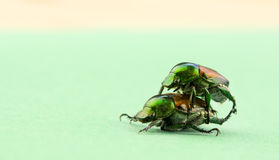 Two japanese beetles mating Stock Photography