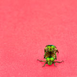 Two Japanese Beetles mating Stock Photos