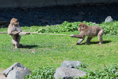 Two Japanese Macaque Fighting over a Stick. Royalty Free Stock Images
