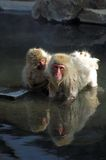 Two Japanese Macaque monkeys in hot springs stock image