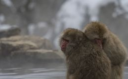 Two Japanese macaque or snow monkeys, Macaca fuscata, sitting on rock of hot spring, holding each other to keep warm. Both showi. Ng their faces and looking left royalty free stock photography
