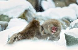 Two japanese macaques fights in the snow. The Japanese macaque ( Scientific name: Macaca fuscata), also known as the snow monkey. royalty free stock photos