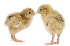 Two Japanese Quail, also known as Coturnix Stock Image