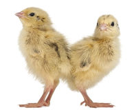 Two Japanese Quail, also known as Coturnix Stock Photo