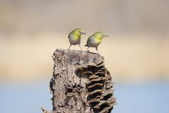 Japanese White-eye. Two Japanese White-eye stand on stump with many mushrooms. Scientific name: Zosterops japonicus stock photos