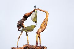 Japanese White-eye and tree-root carving. Two Japanese White-eye stand on tree-root carving. Scientific name: Zosterops japonicus stock images