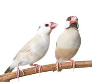 Two Java Finches Royalty Free Stock Photos
