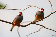 Two java sparrows sitting on a leafless branch in front of a gray-white background. Two java sparrows padda oryzivora sitting on a leafless branch in front of a stock photo