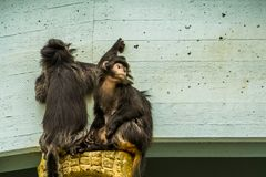 Two javan lutung monkeys together, tropical primates from the java island of Indonesia, vulnerable animal specie. Two javan lutung monkeys together, tropical royalty free stock image