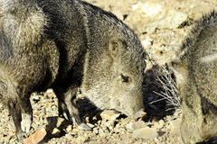 Two javelina. Rooting in the desert floor Royalty Free Stock Photos
