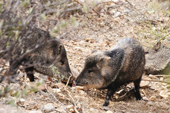 Two Javelinas. Touching noses in the desert Royalty Free Stock Photo