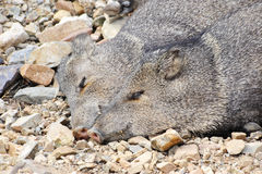 Two Javelinas Royalty Free Stock Images