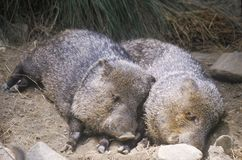 Two javelinas lying together in hay Royalty Free Stock Photography