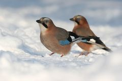 Two jays Royalty Free Stock Photos
