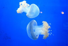 Two jellyfish Royalty Free Stock Photos