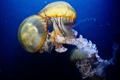 Two jellyfish stock photography