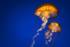 Two Jellyfish Stock Photo