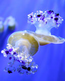 Two jellyfishes Royalty Free Stock Images