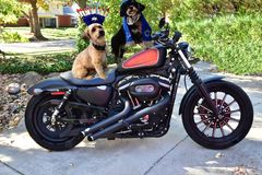 Two Jewish Havanese dogs on motorcycle. Two beautiful Havanese Jewish dogs on motorcycle dressed with tallit and yarmulke and menorah hat. One dog is black and Royalty Free Stock Photography