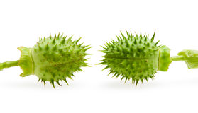 Two jimson weed thorny seedpod Stock Image