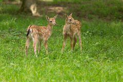 Two joung fawn fallow deer Stock Photo
