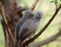 Two Jungle Babbler Stock Photo