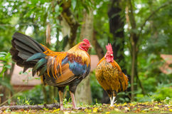 Two jungle chicken at the garden Stock Photography