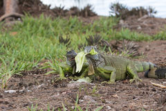 Two juveline Green Iguanas fighting over a piece of lettuce. In South Florida Stock Photography