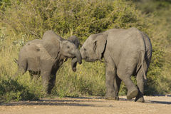 Two juvenile African Elephant (Loxodonta africana) play fighting Stock Photos