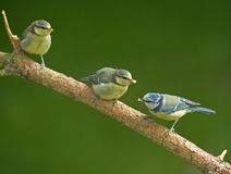 Two juvenile Blue Tits and mother bird. An image of three Blue tits on a branch, the juveniles wait to be fed Royalty Free Stock Photography