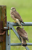 Two Juvenile Common Kestrel Royalty Free Stock Photos