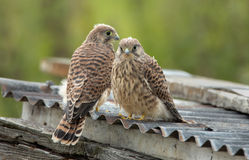 Two Juvenile Common Kestrel Stock Photos