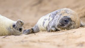 two playful juvenile Common seal on beach stock photos