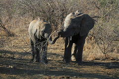 Two Juvenile Elephants Royalty Free Stock Images