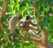 Two Juvenile Gray Langurs. Southern Plains Gray Langur, also known as hanuman langur or Semnopithecus Dussumieri, sitting in a tree, is the most common langur Stock Images