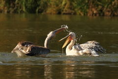 Two juvenile great pelicans splashing each other stock photos